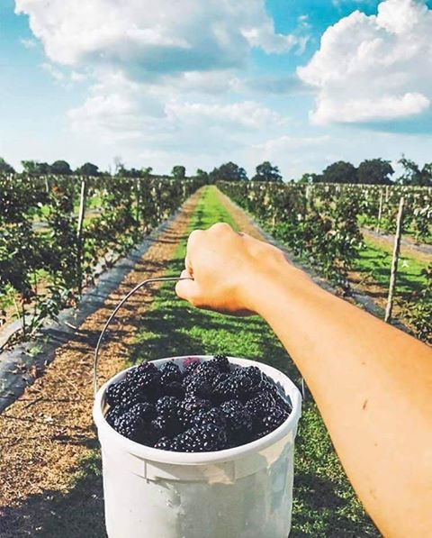 P-6 Farms Blackberries Farm