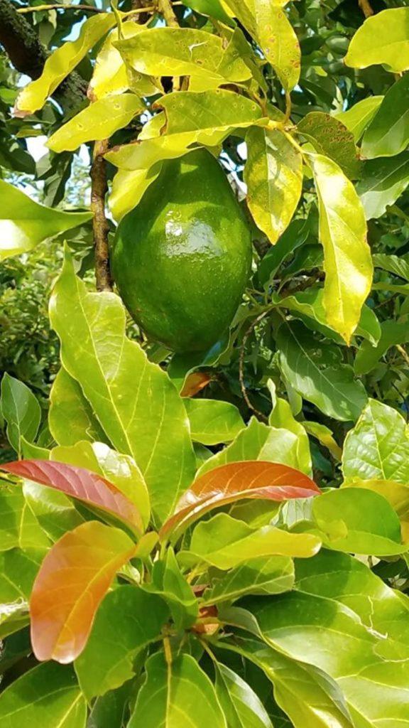 Florida Avocado – Sunset Groves – Farm to Table – Picked Fresh on tree