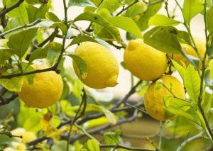 Organic Lemon Fruit Tree 20 Seeds for Planting Indoor