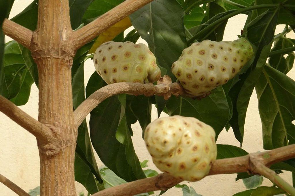 New NONI Cheese Fruit Great Morinda Citrifolia Indian Beach Mulberry Tree 202
