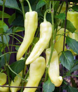 Banana Pepper Seeds 2