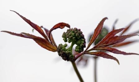Red Elderberry (Sambucus Racemosa) by Jake