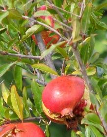 Pomegranates by Alex Skelly