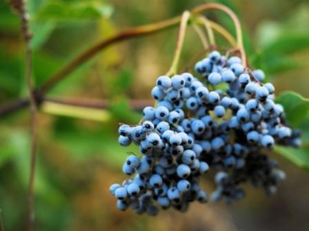 Elderberries in Stewart Falls, Utah