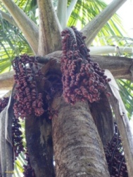 Huasai Palm Peru Acai Brazil Howard Charing