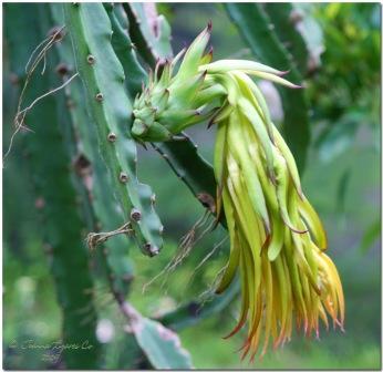 Dragon Fruit on Flickr
