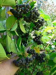Aronia Berries by Outdoor PDK