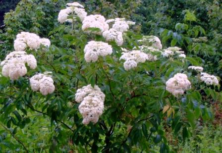 Elderberry Plant with Flower Clusters