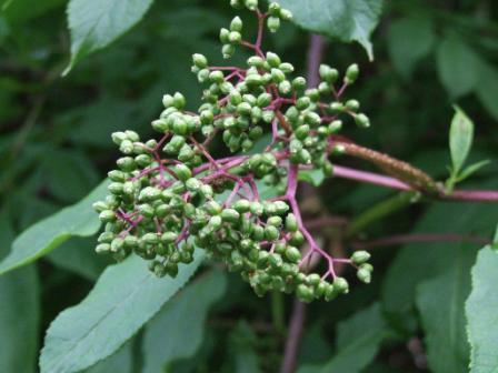 Elderberries Not Yet Ripe by Alaskapine