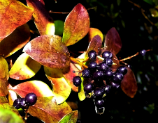 Elderberry Cluster by Sharon Talson
