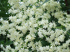 Elderberry Blossoms by Dianna Smith