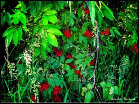 Wild Elderberries by Chuck Harkins