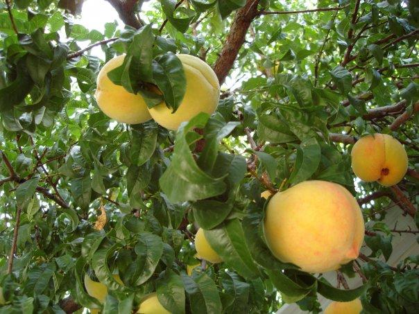 Nm Peach Tree