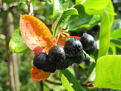 Aronia Berries by Lucyver
