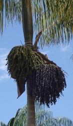 Huasai Palm Peru - Acai Berry