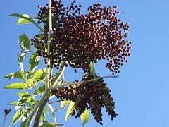 Elderberries by Dianna Smith