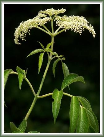 Lovely Elderberry Plant by Mike Hitzelberger