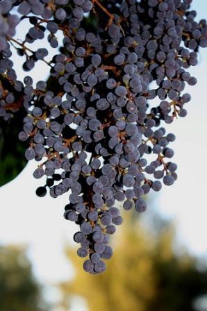 Elderberries by Laura Bell