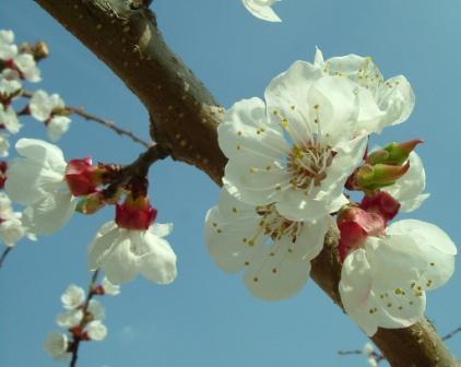 Apricot_flowers_katka.szabo_reduced
